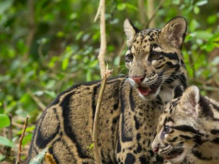 Clouded leopard mother and young cub in densely foliaged jungle