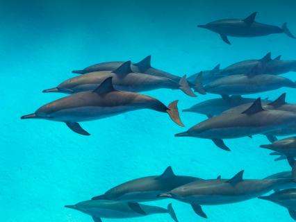 A large pod of Spinner dolphins swimming in clear turquoise water