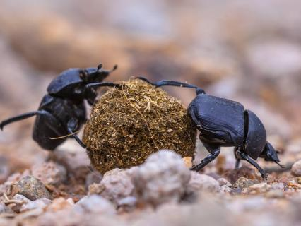 Two dung beetles rolling a ball of dung on gravel