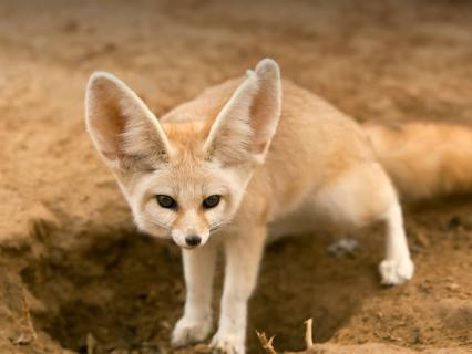 Fennec fox standing over hole in dirt