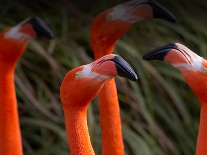 four flamingos stretch their necks up to the sky