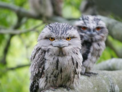 Frogmouths sitting on a tree branch,  looking straight at the camera