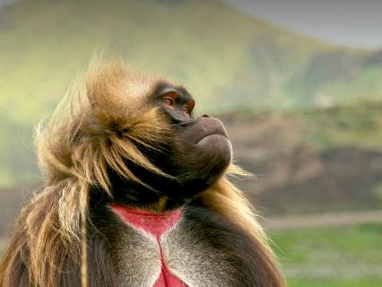 Male gelada looking to the right as the wind blows his long hair