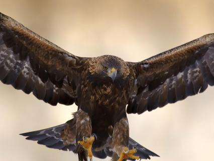 Golden eagle with wings spread and talons extended as it goes in for a landing