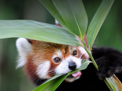 A red panda chewing on bamboo leaves.