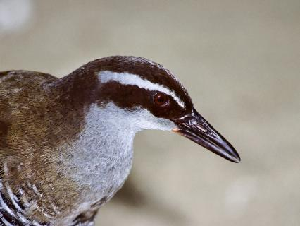 Side profile of a Guam rail