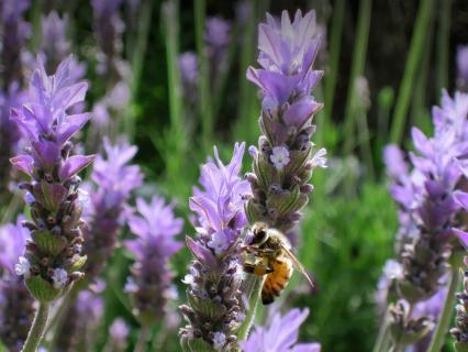 Honeybee gathering pollen from a purple basil flower