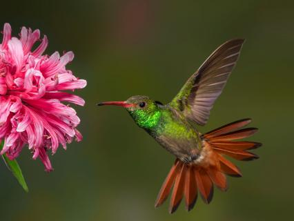 Costa Rican hummingbird