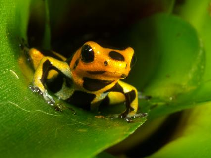 Yellow-banded poison frog
