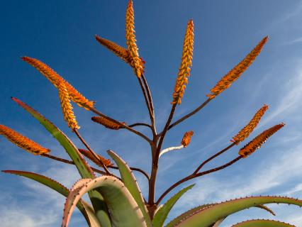 Aloe plant and flowers