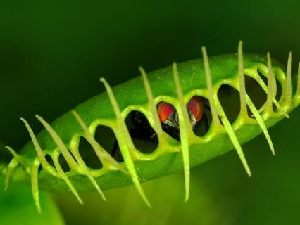 Close-up of a fly trapped within a venus flytrap