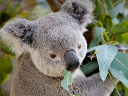 A koala munches on the leaves of the eucalyptus tree he sits in.