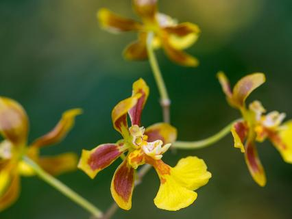 Close-up of yellow and maroon orchid flowers