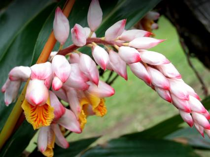 the pink and white flowers of a shell ginger