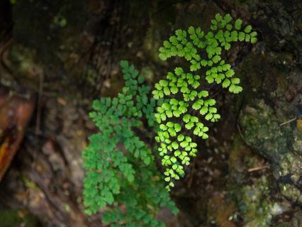 Maidenhair fern growing from a wet, rocky cliffside.