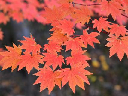 The red colors of a maple tree's leaves.