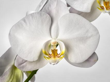 The white flower on an orchid.