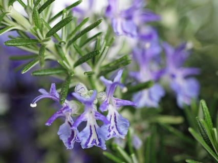 Rosemary with purple flowers showing.
