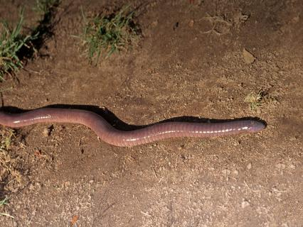 Caecilian slithering along dirt ground