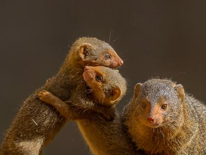Two young dwarf mongoose hold each other while playing while an adult keeps watch.