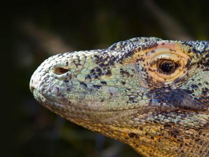 Close up of komodo dragon face