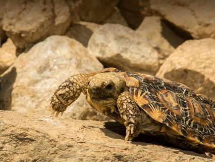 A pancake tortoise was across a dirt covered rock.