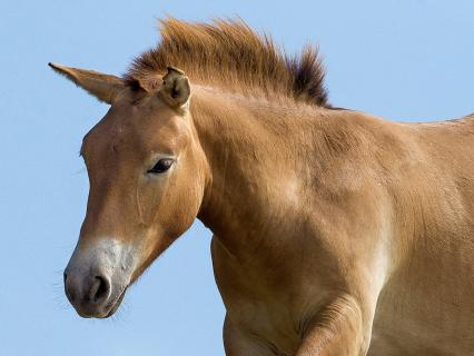 Przewalski's Horse horse against blue sky background