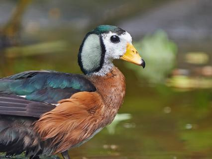 African pygmy goose enjoys a day at the lake