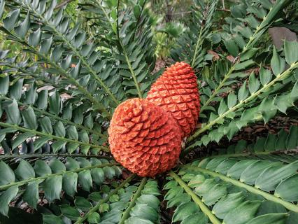 Cycad photo showing two cones.