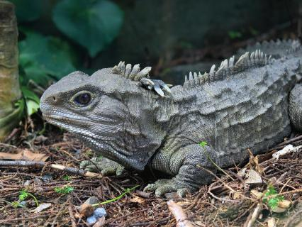 Tuatara in New Zealand forest