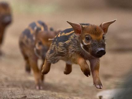 Red River Hog piglets