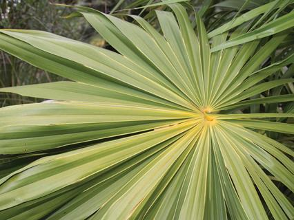 Close up of a fan palm frond.