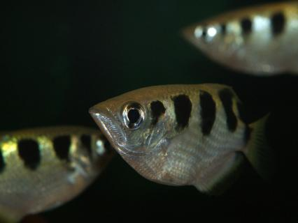 Three banded archer fish swim in dark waters