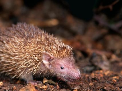 A tiny tenrec standing on soil and dried leaves.
