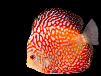 Orange discus fish cichlid