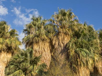 A group of California fan palms against a blue sky
