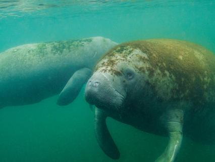 A pair of manatees floating in murky turquoise Florida bayou water