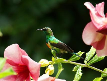 Male beautiful sunbird