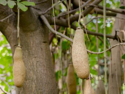 Sausage tree fruit