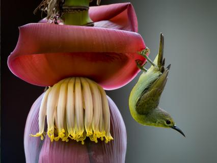 Little green sunbird on banana flower