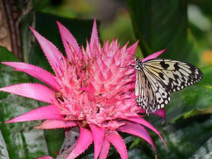Butterfly sitting on a bright pink bromeliad flower