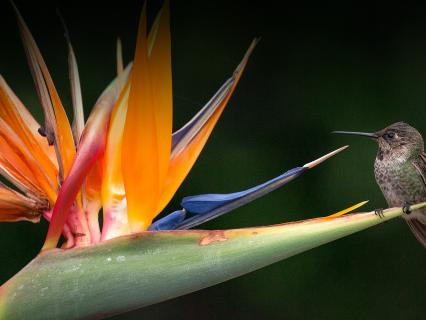 Hummingbird sitting on a bird-of-paradise flower