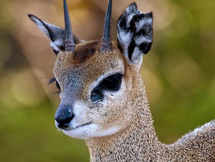 Closeup of a klipspringer's face in front of a green background