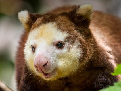 Matschie's tree kangaroo sitting on a branch, looking off to the left