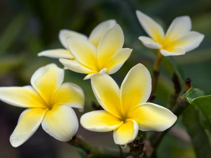 Yellow plumeria blooms