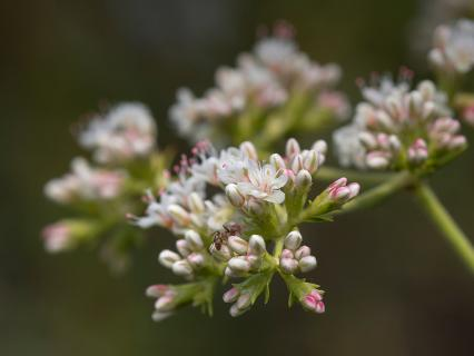 Close-up of a tiny ant crawling on a wild buckwheat's flowers.
