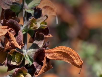 Close-up of beach salvia's rust brown blooms