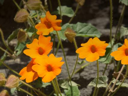 Orange clock vine