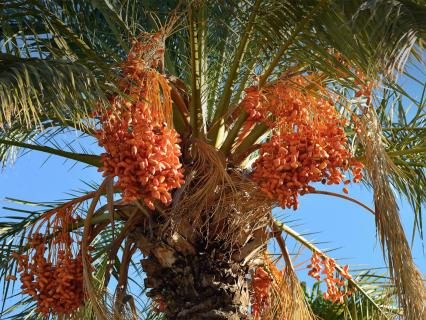 Date palm heavy with bright orange fruit