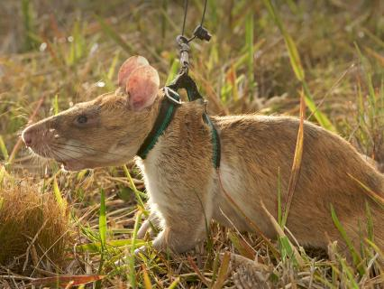 Giant African Pouched rat being rewarded with banana during training for use in demining programs in Mozambique.